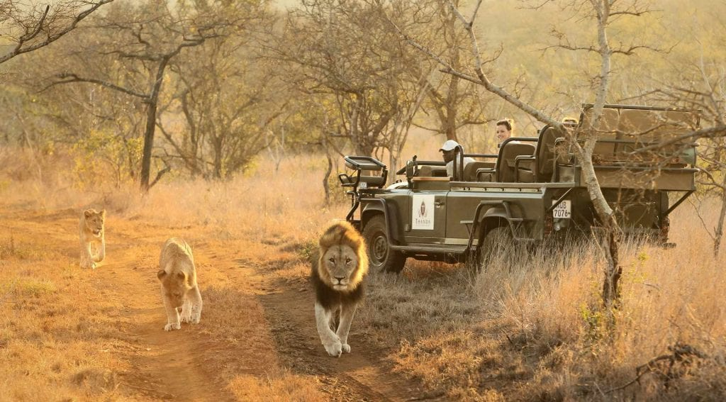 Big Cat Safaris - Thanda - Game Drive