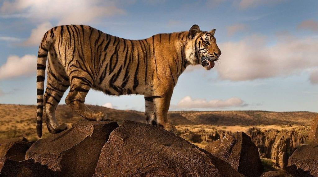 Big Cat Safaris - Large male Tiger on a rock at Tiger Canyon Big Cat Safari Specials
