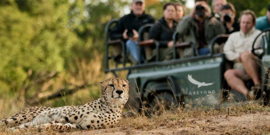 Big Cat Safaris - Phinda Forest lodge - Cheetah Phinda South Africa