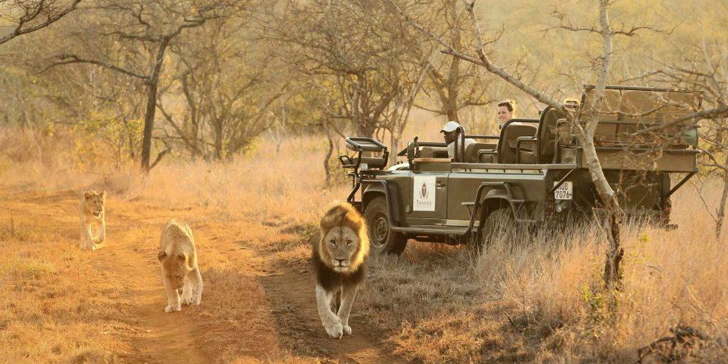 Big Cat Safaris - Thanda - Game Drive